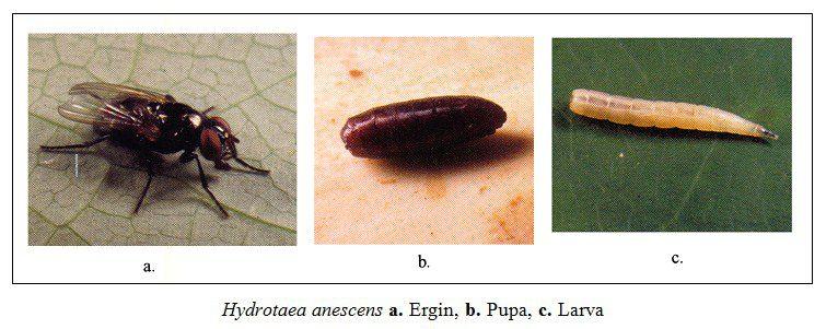 Böceklerde pupa tipleri ve pupa döneminin detayları