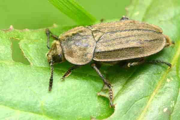 Aclypea opaca, Adli Entomoloji