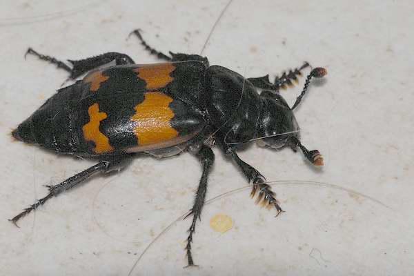 Nicrophorus investigator, Adli Entomoloji