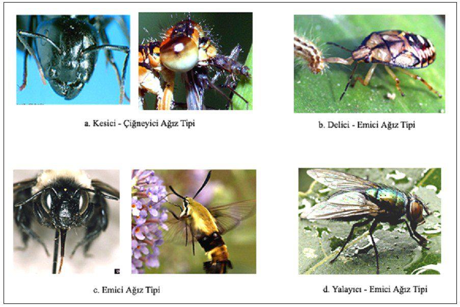Böceklerde ağız tipleri