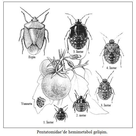 Pentatomidae'de hemimetabol gelişim
