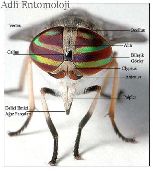 Böceklerde baş yapısı ve baş kısımları