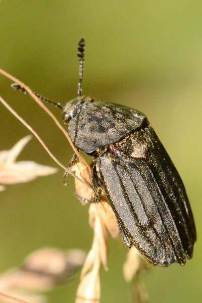 Thanatophilus sinuatus, Adli Entomoloji