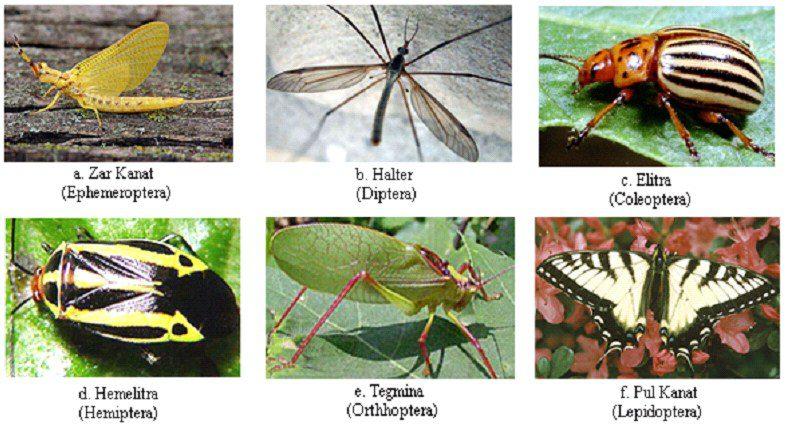 Bazı böcek gruplarında kanat tipleri