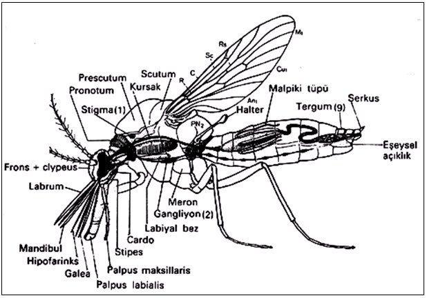 Ergin bir sinekte (Nematocera) vücut organizasyonu (Demirsoy'dan)