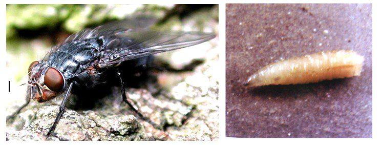 Adli Entomoloji, Calliphora vicina, Ergin dişi, larva