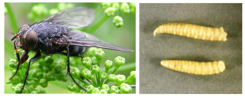 Calliphora vomitoria, dişi ergin ve larva, Adli Entomoloji