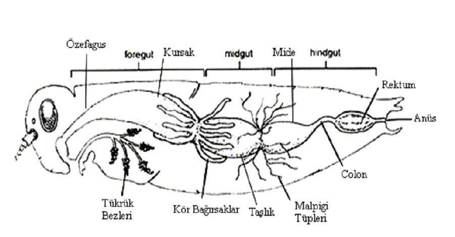 Böceklerde sindirim ve boşaltım sistemi