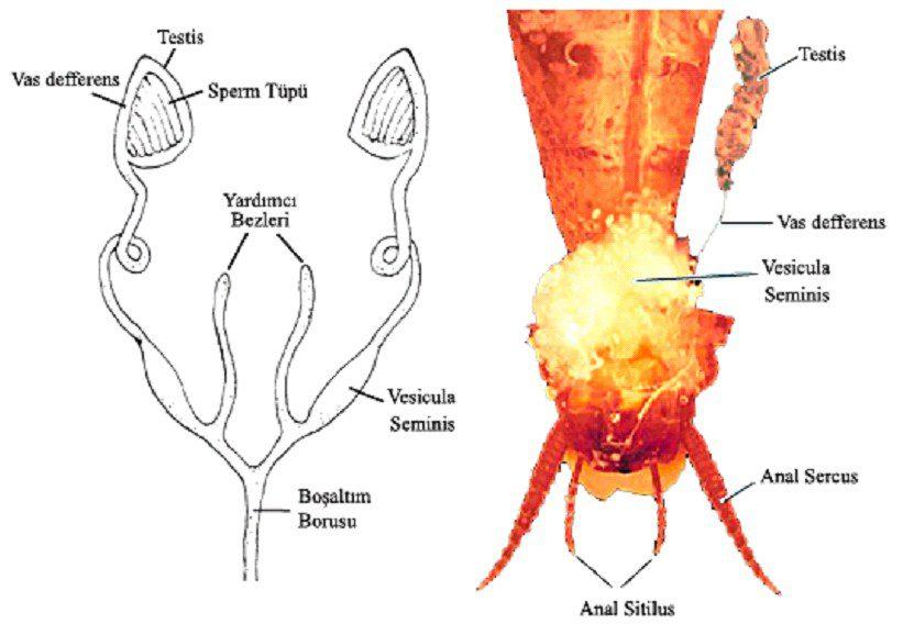 Böceklerde erkek birey üreme sistemi