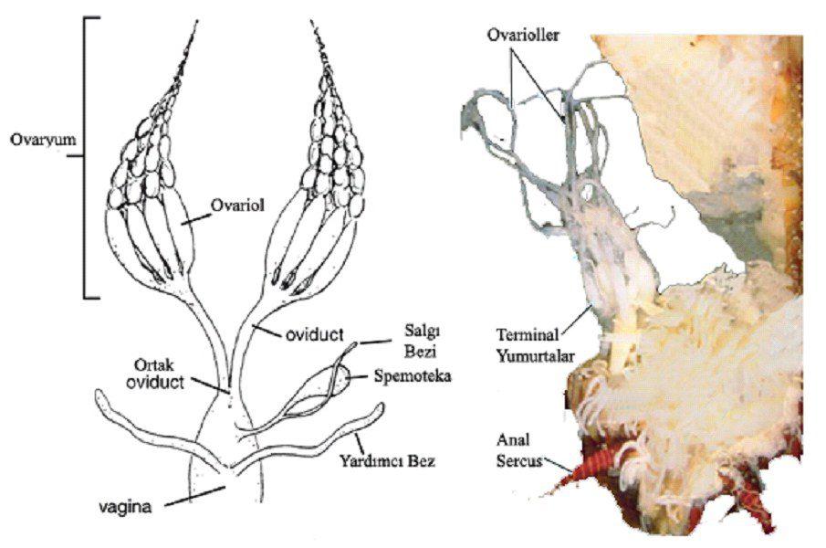 Böceklerde dişi birey üreme sistemi