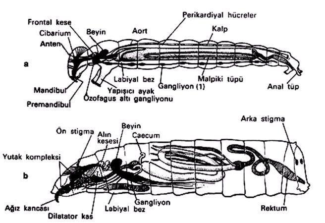 Sinek larvalarının organizasyonu, a. Nematocera, b. Brachycera (Demirsoy'dan)