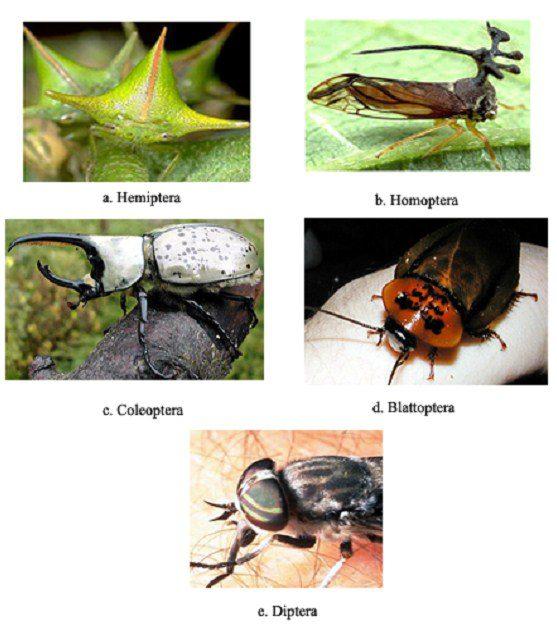 Çeşitli böcek gruplarında pronotumun yapısı
