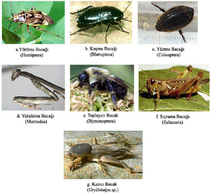 Böceklerde çeşitli bacak tipleri