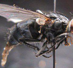 Calliphora subalpina, Calliphoridae, dişi ergin birey
