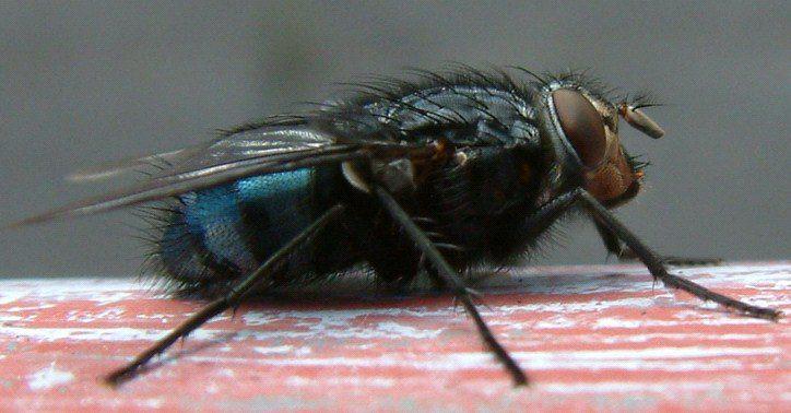 Calliphora uralensis, Calliphoridae, Dişi ergin birey