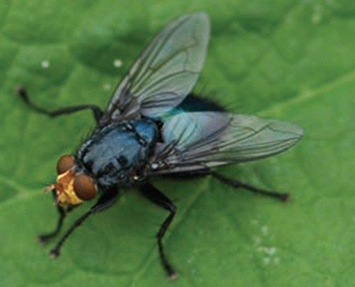 Cynomya mortuorum, Calliphoridae, Ergin dişi
